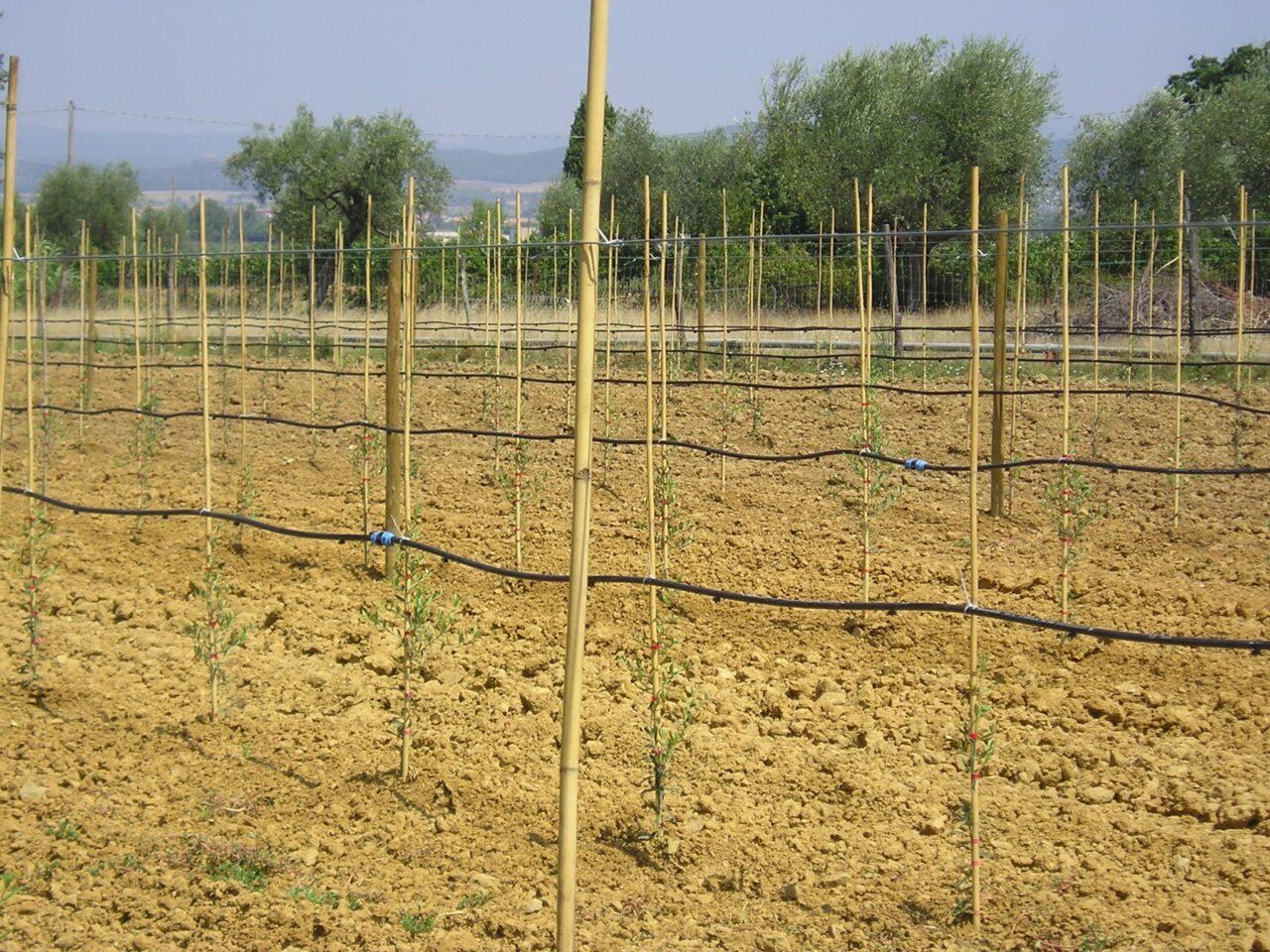 irrigazione a goccia esterna su olivo intensivo